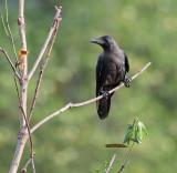 House Crow