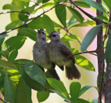 Yellow-vented Bulbuls, Juveniles