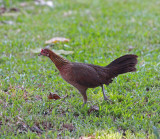 Red Junglefowl, female