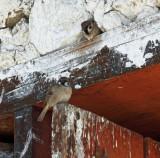 Jampa Lhakhang sparrows