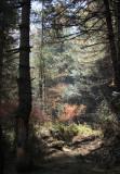 Blue pine forest walk