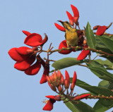 Olive-backed Sunbird, male eclipse