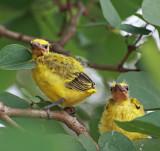 Black-naped Oriole, fledglings