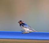 Barn Swallow, juvenile