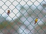 Olive-backed Sunbirds