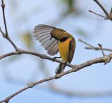 Preening Sunbird