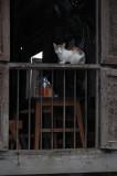 Kyankmyaung cat