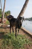 Well-fed goat