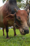 Vechur cow at Coconut Lagoon Resort