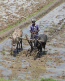Tilling the paddy field
