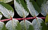_MG_8667 frosty garden.jpg