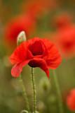 _MG_0209 poppies.jpg