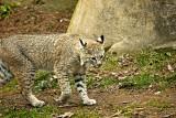 Prowling Bobcat