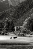 Moose in Bow River, near Banff, Alberta