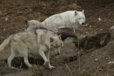 Grey Wolf, Orono, Ontario