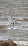 Fishing Common Terns
