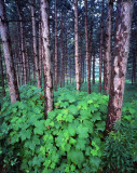 midwest_forests