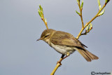 Luì grosso-Willow Warbler  (Phylloscopus trochilus)
