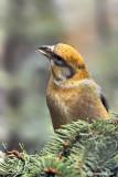 Crociere- Common Crossbill (Loxia curvirostra)