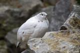 Pernice bianca-Rock Ptarmigan  (Lagopus mutus)