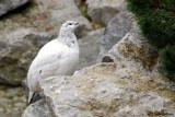 Pernice bianca (Lagopus mutus)