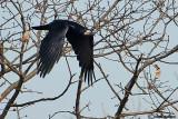 Corvo- Rook (Corvus frugilegus)