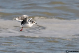 Gabbianello-Little Gull (Larus minutus)