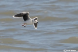 Gabbianello-Little Gull (Larus minutus)