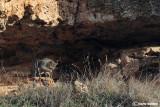 Gatto selvatico-Wildcat  (Felis sylvestris)