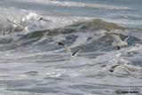Gavina -Common Gull (Larus canus)