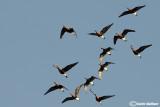 Oca collorosso (Branta ruficollis)
