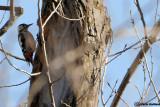 Picchio rosso di Siria-Syrian Woodpecker(Dendrocopos syriacus)