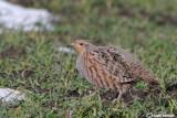 Starna-Grey Partridge (Perdix perdix)