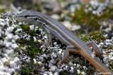 Acantodattilo codarossa- Spiny-footed Lizard (Acanthodactylus erythrurus)