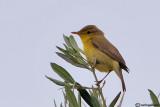 Canapino-Melodious Warbler(Hippolais polyglotta)