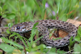 Colubro lacertino- Montpellier Snake (Malpolon monspessulanus)