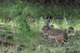Lepre Iberica-Granada Hare (Lepus granatensis)