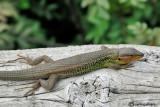 Psammodro striato -Large Psammodromus (Psammodromus algirus)