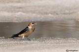 Rondine rossiccia-Red-rumped Swallow (Hirundo daurica)