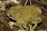Rospo calamita-Natterjack Toad  (Bufo calamita)