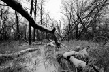 Springbrook Forest Preserve-Black & White