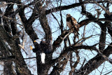 Same Eagle Landing in Tree