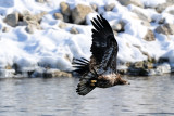 Immature Eagle Flying Close to the Shore