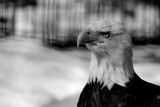 Bald Eagle-Captive