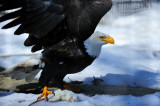 Bald Eagle and a Rat-Captive