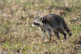 raccoon in rain and wind