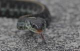 garter snake on merritt island