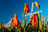 Tulips20090421_MG_1273.jpg
