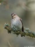 Graa Fluesnapper (Muscicapa striata)