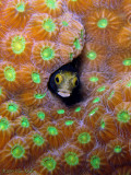 Star Coral & Blenny